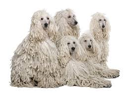 poodles long hair in winter popular poodle culture appearance and grooming poodle lovers post