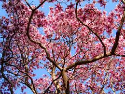 japanese magnolia tree wish we had these in the valley