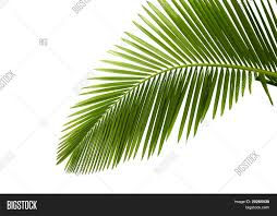 leaves palm tree isolated on white image u0026 photo bigstock