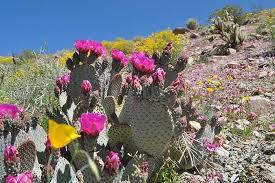 Flower Area - anza borrego desert state park super bloom desertusa