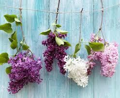 flieder balkon flieder pflanzen schneiden und vermehren living at home