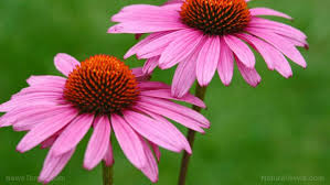 echinacea flower echinacea sources health benefits nutrients uses and
