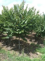cercis reniformis oklahoma redbud tree plants pinterest