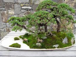 bonsai australian native plants phylobotanist australia u0027s national arboretum part 2 bonsai