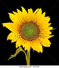 close up image black sunflower stock photos u0026 close up image black