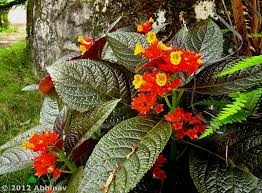 chrysothemis or sunset bells the powerful plant rhythm of nature