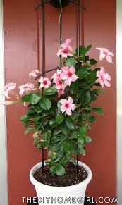 red mandevilla trellis plant pink coral salmon red black white