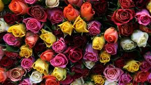 multicolored roses gorgeous roses the meaning of colors 35 pics