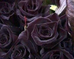 black roses do black roses exist quora