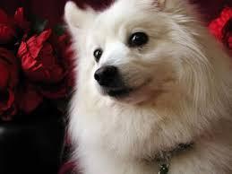 american eskimo dog tattoo 374 best american eskimo spitz samoyed u0026 puppies images on
