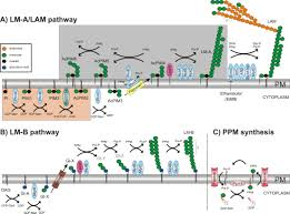 metabolism of plasma membrane lipids in mycobacteria and