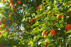 Blackmoor Fruit Trees - dealing with leaf miners on citrus plantknot original