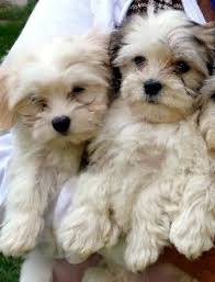 havanese vs bichon frise havanese breed information history health pictures and more