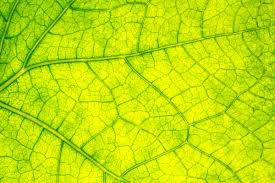 which plant cell organelle uses light energy to produce sugar cell structure and function