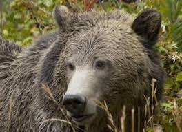 Hungry Bears Perishing On Western Montana Highways Local - 3 grizzlies hit and killed by vehicles in 1 week in northwest