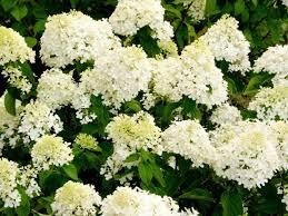 white hydrangeas white hydrangea diy