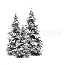 pine trees isolated on white stock photo colourbox
