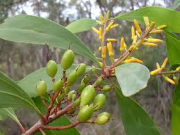 oz native plants persoonia levis wikipedia