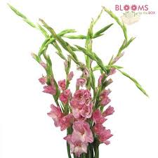 gladiolus flowers wholesale gladiolus gladiolus flowers for weddings
