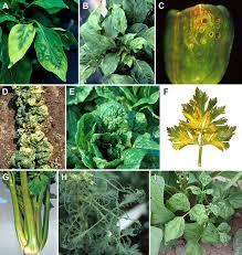Viroid Diseases In Plants - cucumber mosaic virus