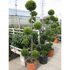 buy cheap pom pom trees topiary trees for sale order