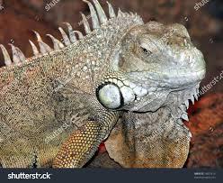 big iguana lizard terrarium stock photo 14672413 shutterstock