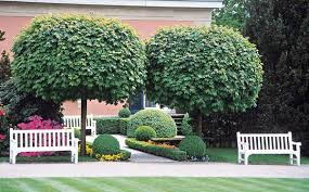 acer platanoides globossum designer mop top maple tree blerick