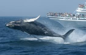 new england whale watching where to go and what to see