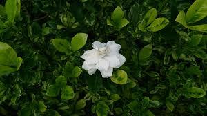 file cape jasmine gardenia jasminoides u0027variegata u0027 1 jpg