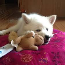 american eskimo dog small american eskimo milky and squirrel toys u2013 american eskimo i am