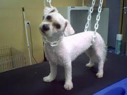 bichon frise meme bichon frisé esthéti u0027chien mon salon de toilettage pour chiens