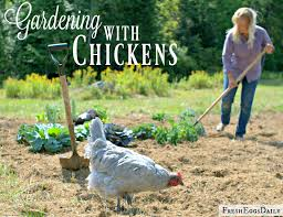 chicken manure vegetable garden gardening with chickens fresh eggs daily