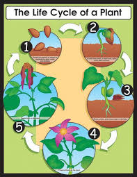 chartlet the life cycle of a plant 17 x 22 cd 6358