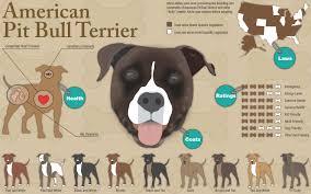 american pit bull terrier brindle american pit bull terrier visual ly