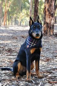 belgian shepherd nova scotia 344 best images about animals on pinterest beautiful dogs