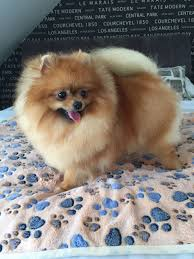 stunningly beautiful kc reg female pomeranian southampton
