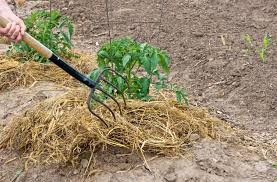 What Kind Of Mulch For Vegetable Garden by Straw Mulch For Gardening U2013 How To Use Straw Mulch Around