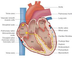 Anatomy Of Heart Valve Heart Overview Anatomy And Physiology Of The Heart Cellular