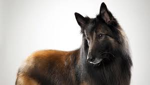 belgian shepherd youtube belgian tervuren dog breed selector animal planet