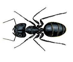 Ants In Bathtub Types Of Ant Species Ehrlich Pest Control