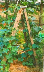 Growing Pumpkins On A Trellis Cucumber Trellis Ladder For Growing Cucumbers In Limited Space