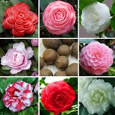online cheap available camellia seeds potted plants garden flower