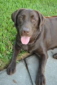 guide dog harness 779 best labs images on pinterest animals chocolate labs and