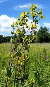prairie moon nursery rosinweed silphium integrifolium aster family asteraceae
