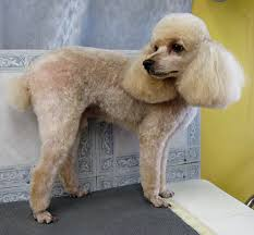Dog Grooming Styles Haircuts Grooming Your Furry Friend Does A Poodle Have To Be Groomed Like