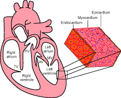 Heart Anatomy And Function Partitioning The Heart Mechanisms Of Cardiac Septation And Valve
