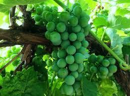 Grape Vine Pergola by Kingaroy Garden Centre Blog Kingaroy Garden Centre