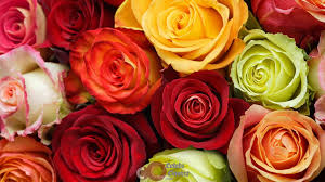Red Color Meaning Happy Rose Day 2017 Importance Of Each Rose Colour With Meanings