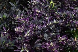 from the soil growing black and bright with ornamental peppers
