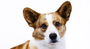 corgi cardigan welsh corgi dog breed information american kennel club